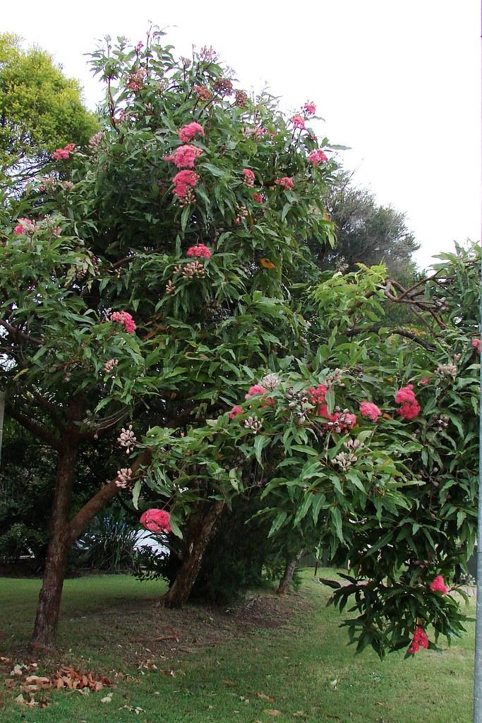 Pink flowering gum tree so called red flowering gum blo flickr pink flowering gum tree by tatters mightylinksfo