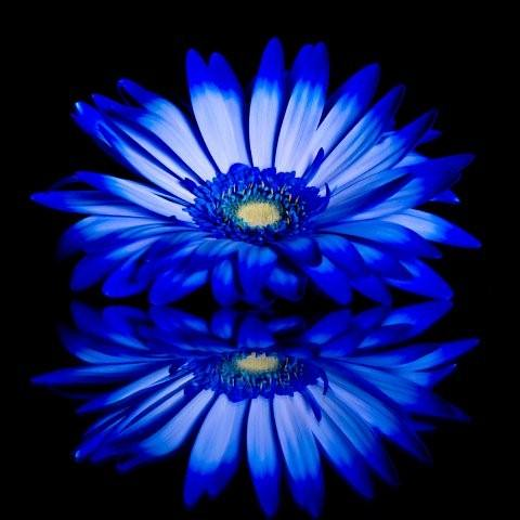 Cool white and black background - Blue Flower Taken On A Glass To Make The Reflection