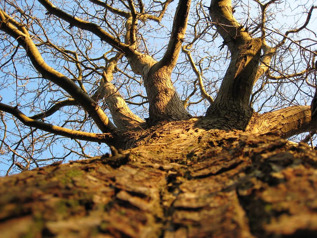 Le ch taignier arbre feuilles caduques dentel es tr s - Arbres a feuilles caduques ...