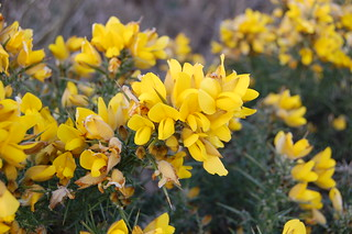 Gorse bush close up | by Mr Craig Simpson