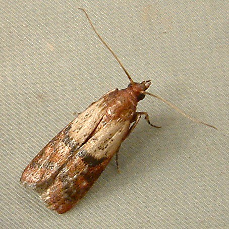 Image Result For Moth Identification By