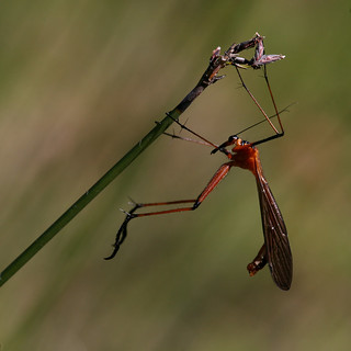 Hanging Scorpion Fly. | by Greg Miles