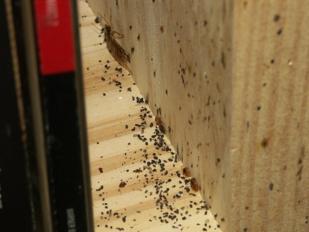Do Bed Bugs Look Like Wood
