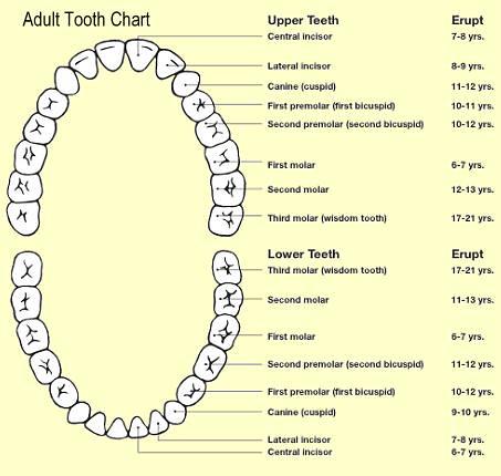 human teeth numbers