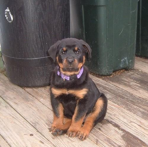 Stella Prunella Rottweiler 2 1 2 Months Darkly Dreaming