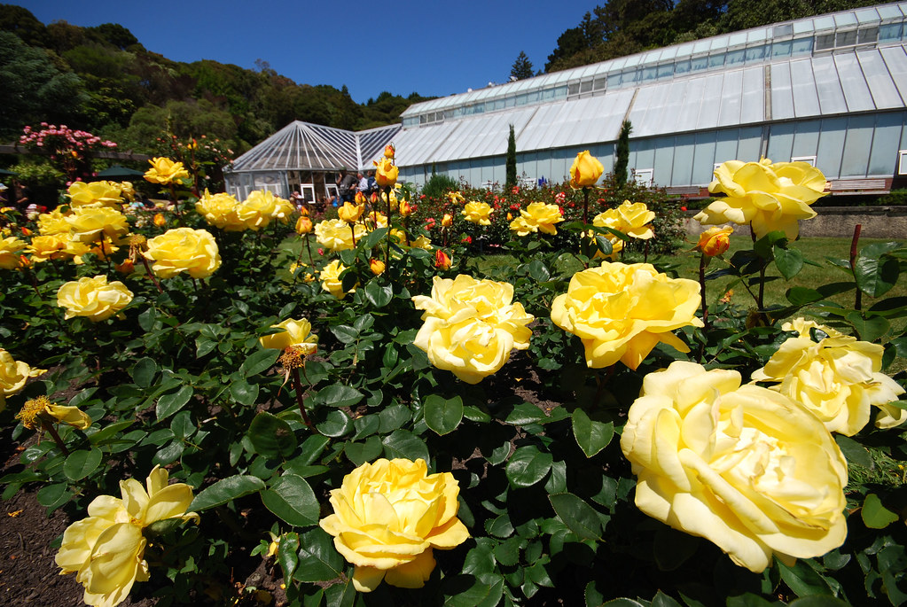 Yellow roses in lady norwood rose garden gordon cooke for Free rose garden designs