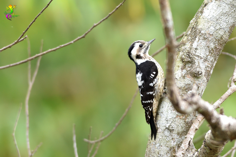 Grey-headed Pygmy Woodpecker_0332
