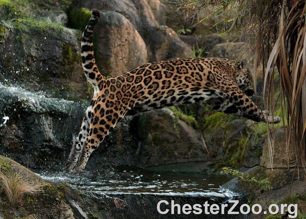 Jumping Jaguar Jumping Jaguar Visit Chester Zoo