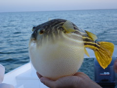 puffer fish on lake nasser | by catfeet2