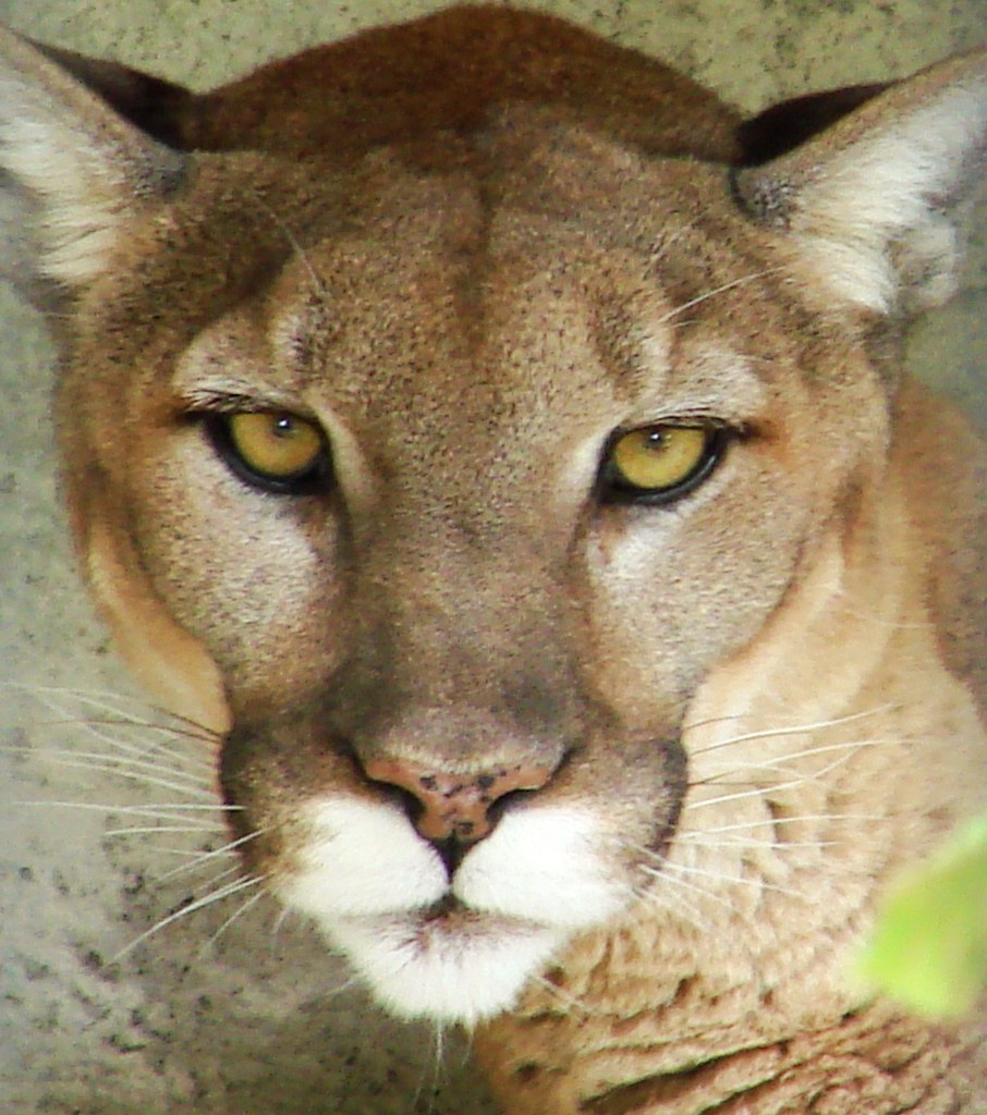 Cougar Eyes | This Puma concolor is at the BREC zoological