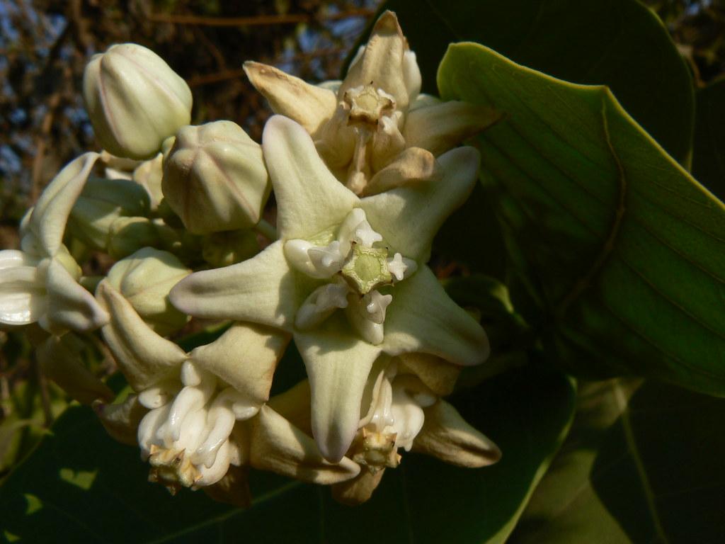 Mandara Rui Marathi मांदाररुई Asclepiadaceae