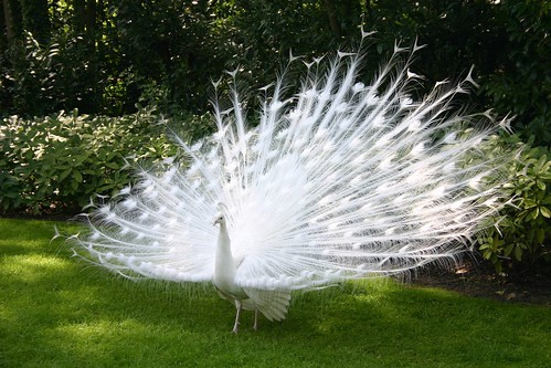 White peacock showing off | by Emma NL