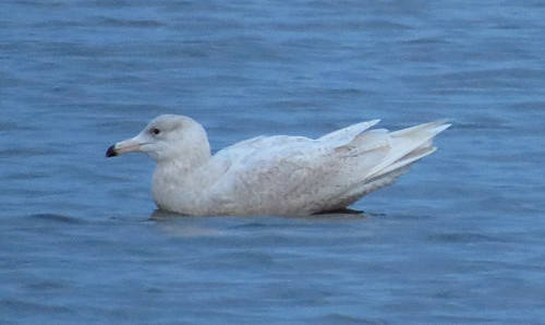 Glaucous Gull Larus hyperboreus Tophill Low NR, East Yorkshire February 2017