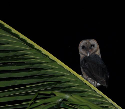 Taliabu Masked Owl - Tyto nigrobrunnea | Bram ... - photo#5