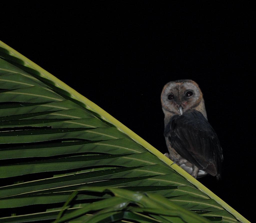 Taliabu Masked Owl - Tyto nigrobrunnea | Bram ... - photo#3