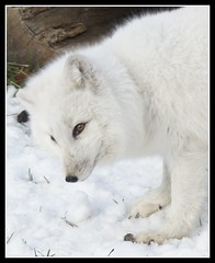 Artic Fox | by Deb Malewski