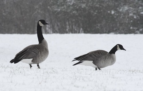 Image result for canada geese snow