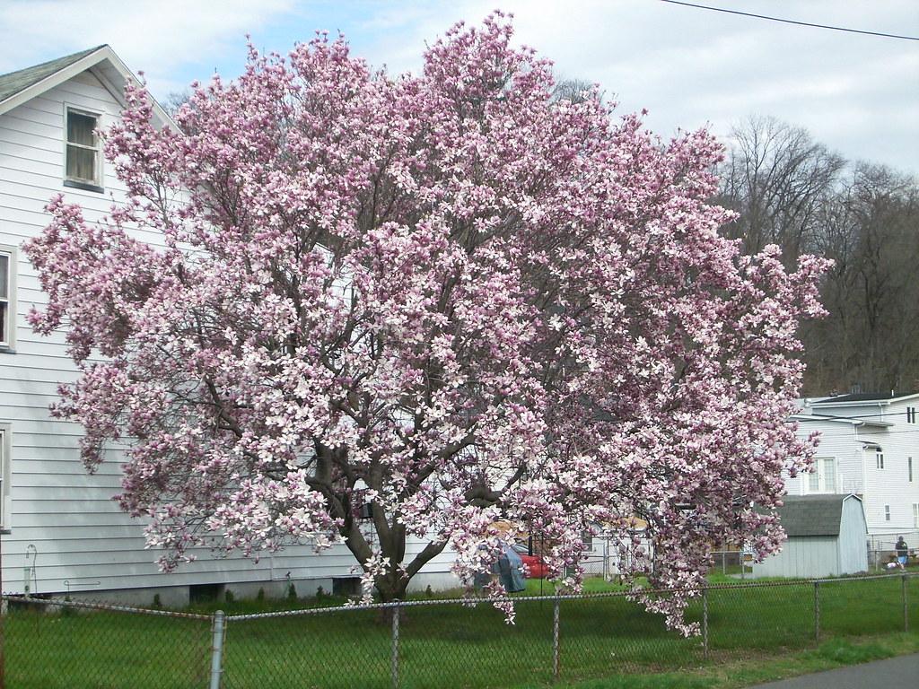 Japanese magnolia tree the image kid for Magnolia tree