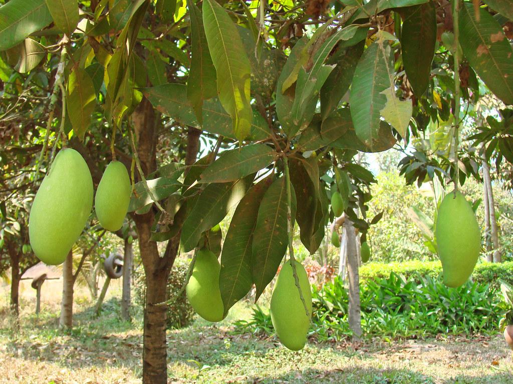 fruits du manguier cambodge la mangue est le fruit. Black Bedroom Furniture Sets. Home Design Ideas