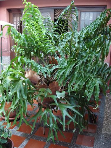 Plantas ornamentales helecho palma y cacho de venado for Plantas ornamentales helechos