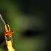 Damselfly ischnura (Odonata: Coenagrionidae Zygoptera)
