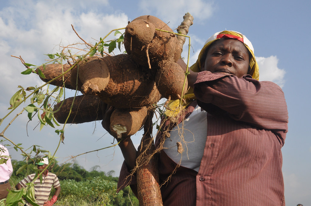 Image result for IITA Cassava cassava
