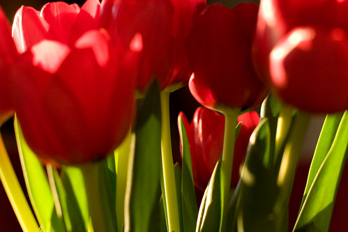 tulips | by chrisglass