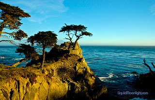 The Lone Cypress in Pacific Grove - Copyright Controversy? | by Darvin Atkeson