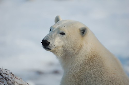 Polar Bear Churchill Manitoba Canada | by orclimber