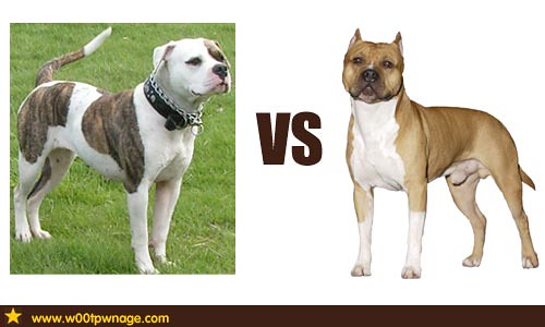 american bulldog vs pitbull american bulldog vs american staffordshire terrier flickr 1221