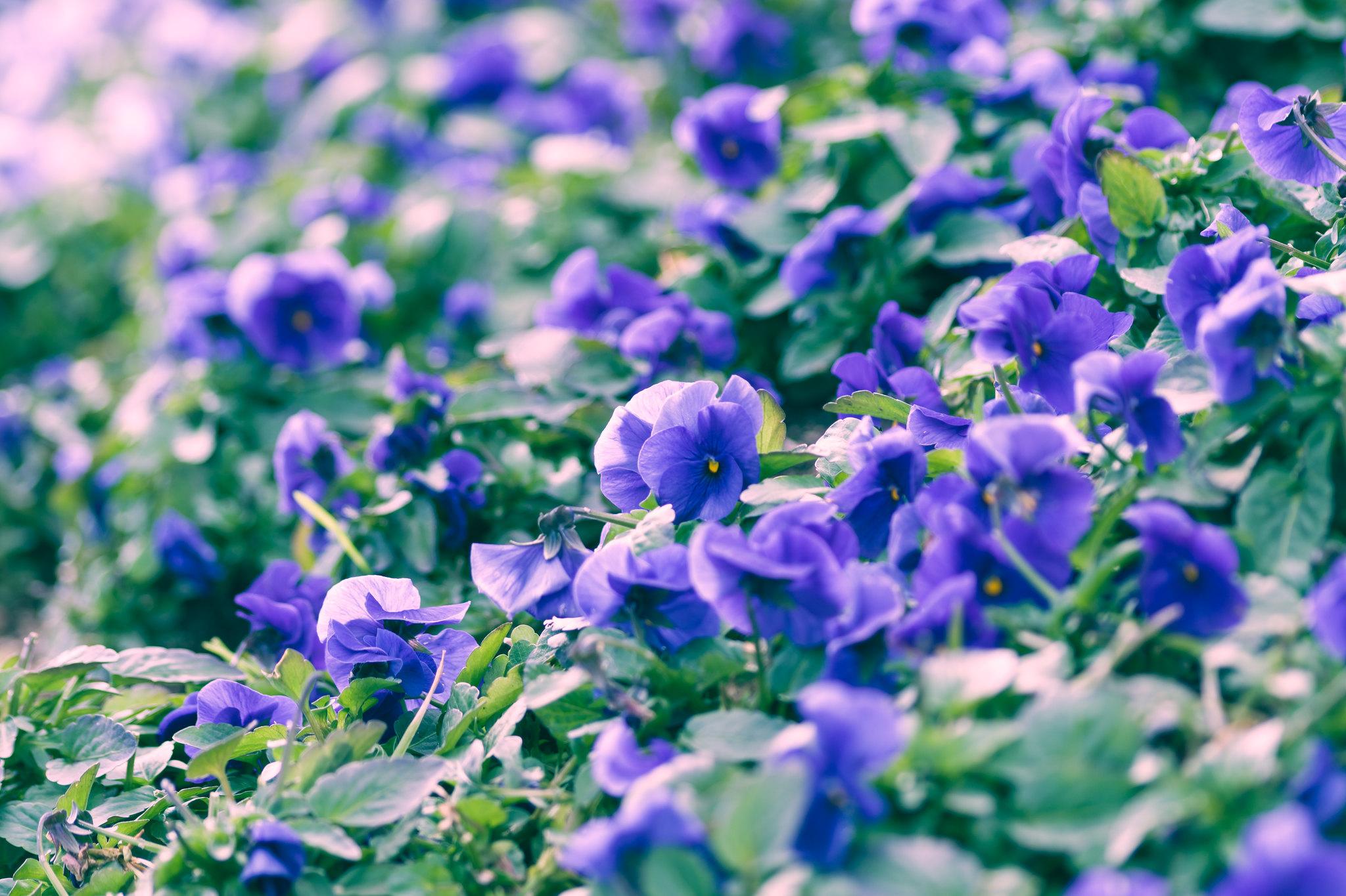 寒空の花畑