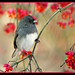 Junco and Berries