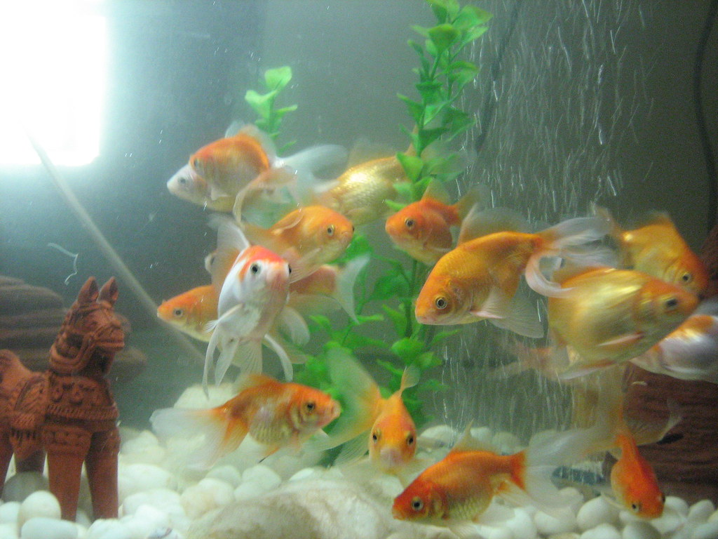 My gold fish fish tank6 i love my fishes very much for I love the fishes