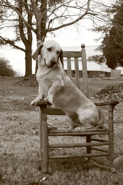 Peachy Sam In Rocking Chair Our Dog Sam Bassett Hound Lab Mix S Frankydiablos Diy Chair Ideas Frankydiabloscom