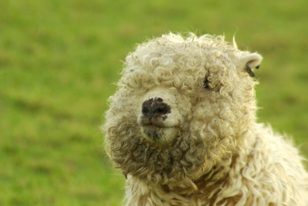 Fluffy sheep | Gillie Rhodes | Flickr