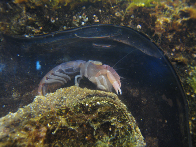 ghost shrimp (callianassa californiensis) Flickr - Photo Sharing!