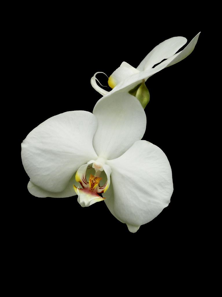 White Orchid Black Background | Janet Sipl | Flickr
