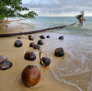 Coconuts germinating on unspoiled beach | by B℮n
