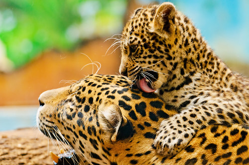 Mayra licking her mother | by Tambako the Jaguar