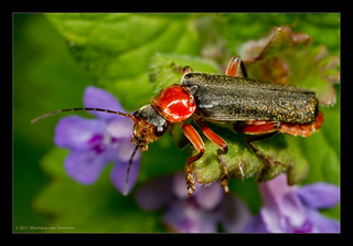 Cantharis pellucida | by Moneycue