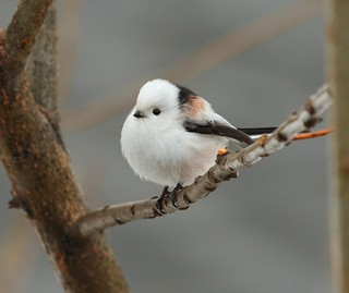 Long Tailed Tit again | by Stu Price