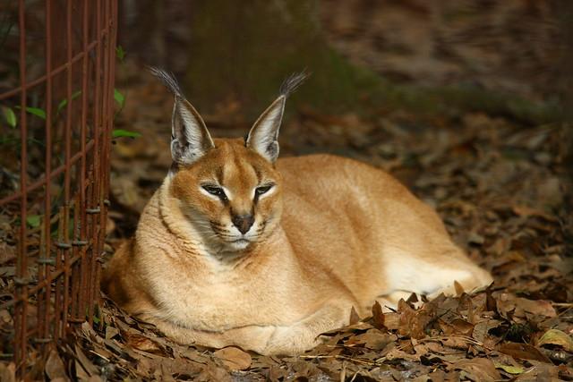 Lynx at Big Cat Rescue | Flickr - Photo Sharing!