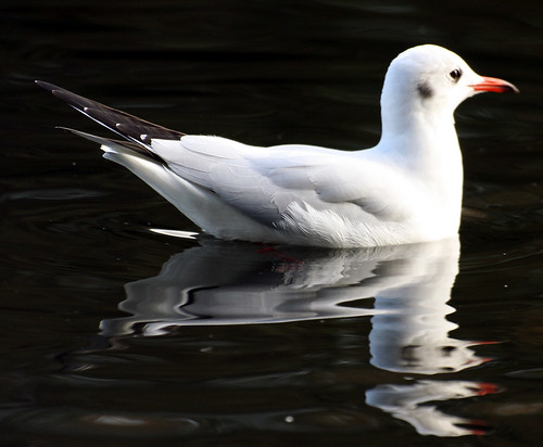 Seagull - Hyde Park, London, England - October Thirteenth 2007. | by law_keven