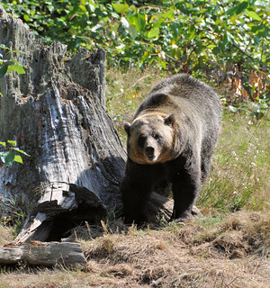 Shadow, the Grizzly Bear | by Pat's Pics36