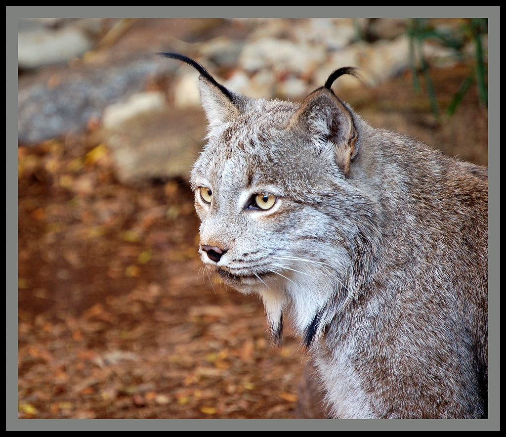 The Canadian Lynx (Lynx Canadensis) Is A