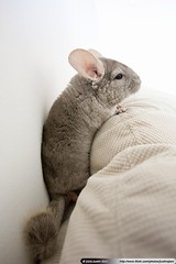 Chinchilla | by Justin Qian