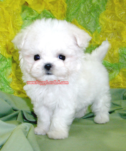 white teacup maltese teacup maltese teacup maltese www puppylandla com flickr 5606