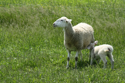 Spring is for lambs | by baalands