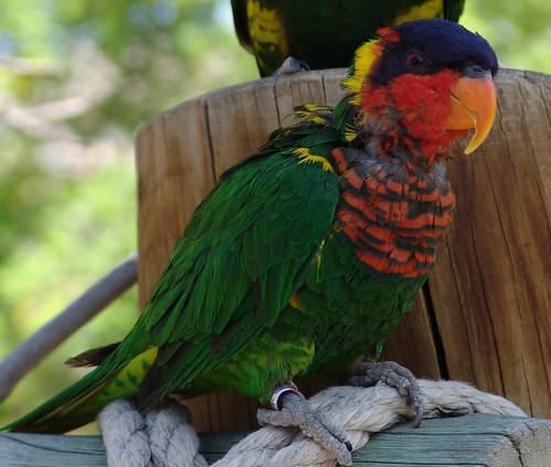 Ornate Lorikeet {Trichoglossus Ornatus}