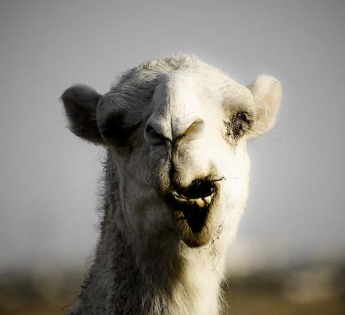 Ugly white camel | The desert's ship -----------------------… | Flickr